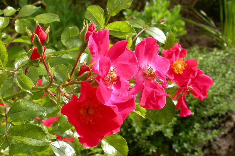 La rose de Provins